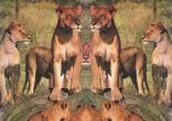 Lionesses_on_Rock.jpg