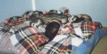 four_ferrets-on_bed puñado.jpeg