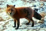 red_fox_on_snow.jpg