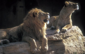 253067-Lions-Couple_Looking_up_on_rock.jpg.png